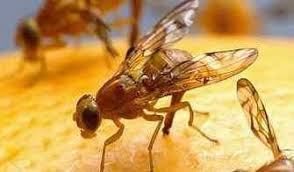 How To Get Rid Of Fruit Flies Easy Video Included - Small flies around kitchen sink