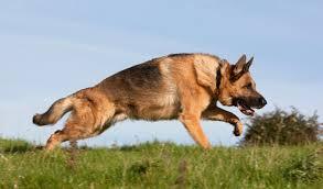 german shepherd x australian shepherd german shepherd dog breed information