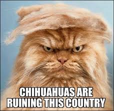Country Meme - chihuahuas are ruining this country trump your cat know your meme
