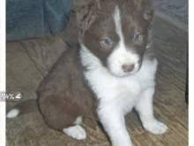 incrocio border collie x australian shepherd cuccioli border collie cani in vendita e in regalo in toscana