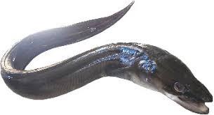 comment cuisiner le congre poisson le congre un monstre des grands fonds menacé