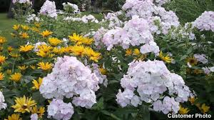 phlox flower phlox paniculata american