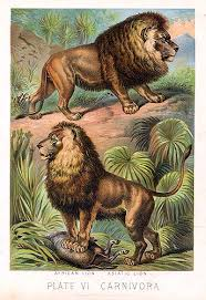 asian lion ring holder images Asiatic lion vs bengal tiger page 7 the student room jpg