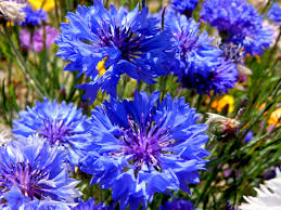 corn flower blue cornflower blue fables and flora