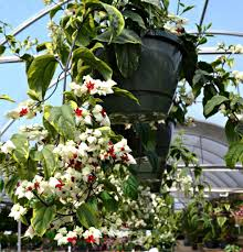 top 5 hanging baskets for shade fairview garden center