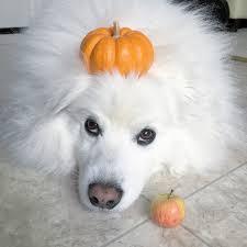 american eskimo dog small ruckus the eskie 2016