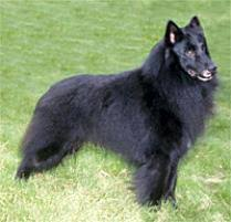 belgian sheepdog for sale in texas adopt a belgian sheepdog dog breeds petfinder