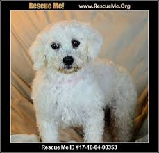 bichon frise 17 years old colorado bichon frise rescue u2015 adoptions u2015 rescueme org