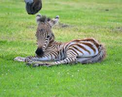it u0027s all about the stripes welcome baby zebra youtube