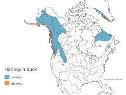 Duck Migration Map Harlequin Duck Waterfowl Id
