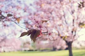 Cherry Blossom Facts by A Post Dedicated To Cherry Blossoms Study In Sweden The Student