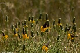 grassland native plants prairie coneflowers ratibida columnifera pawnee national grasslands colorado by betsey crawford jpg