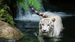 tiger wallpapers hd 89