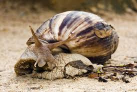 Where Can You Find Snails In Your Backyard People Really Need To Stop Bringing Giant African Land Snails Into