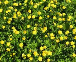Identify Flowers - quiz on common lawn weeds recognition and identification