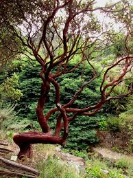 manzanita trees 18 best arctostaphylus howard mcminn images on
