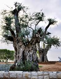 file a very old olive tree 4012287961 jpg wikimedia commons