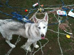 the damage and destruction caused by huskies pethelpful
