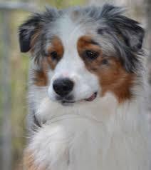 australian shepherd service dog sunbear australian shepherds 336307 4575 fuller