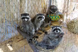 raccoon rehabilitator job description native animal rescue