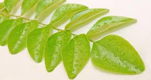 Curry Leaf Plant Diseases - 10 reasons you should eat kadi patta or curry leaves read health