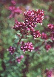 origanum laevigatum herrenhausen ornamental oregano