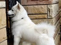 american eskimo dog london wisconsin american eskimo dog rescue groups