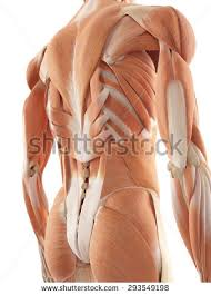 Anatomy Of Human Back Muscles Back Muscle Stock Images Royalty Free Images U0026 Vectors Shutterstock