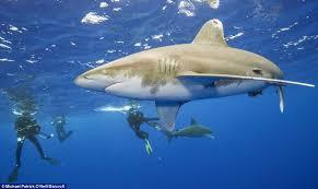 brave diver cool circled 8ft man eating