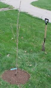 Planting Fruit Trees In Backyard Best 25 Planting Fruit Trees Ideas On Pinterest Buy Fruit Trees