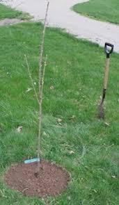 best 25 planting fruit trees ideas on buy fruit trees
