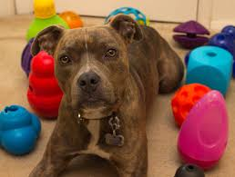 feeding a boxer dog pitlandia top 10 food dispensing dog toys