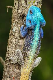 colourful blue headed agama lizard in south africa by simon pierce