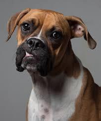 bulldog y boxer file chata the boxer jpg wikimedia commons