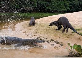 amazonia si e social the otter emblematic species of the amazonian rivers une