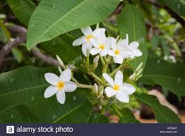plumeria flowers plumeria flowers blooming in nature costa rica stock photo