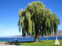weeping willow tree information