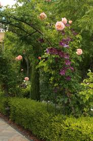 107 best vines and climbers images on pinterest flowers flowers