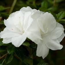 encore azalea 3 gal autumn moonlight white re blooming compact