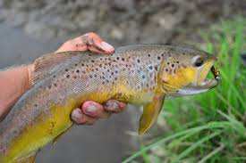 Wisconsin Trout Streams Map by Visiting The Sconnies New Water And Some Larger Browns On A Fly