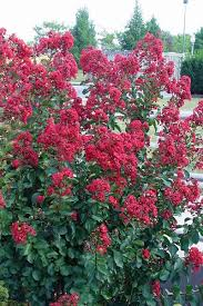 buy feature crape myrtle for sale from wilson