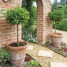 Laurel Topiary - laurus nobilis bay leaf tree bay tree sun trees