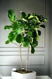 low light indoor trees walmart plant light indoor indoor tree low light most inspiring