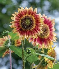 Flower Image Annual Flower Seeds U0026 Plants Buy U0026 Grow Flowers Bulbs Burpee Com