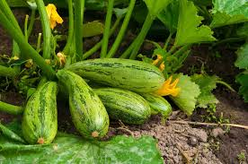 how to plant and grow zucchini and summer squash