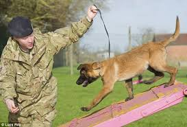 belgian shepherd malinois breeders uk dogs of war the four legged army recruits who detect hidden
