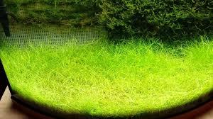 Java Moss Aquascape Removing Moss Carpet Outdoors U2014 Interior Home Design
