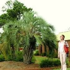 buy pindo palm trees at best price plants