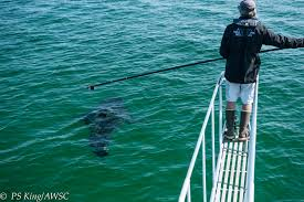 wild cape cod notebook summer white shark research report the