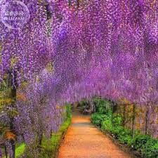 bellfarm 20 chinese purple blue wisteria mixed seeds